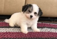 Havanese Puppies for sale in Powers Lake, ND 58773, USA. price: NA
