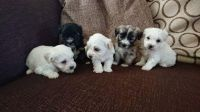 Havanese Puppies for sale in Houston, TX 77001, USA. price: NA
