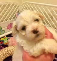 Havanese Puppies for sale in Manchester, NH, USA. price: NA