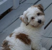 Havanese Puppies for sale in Indianapolis Blvd, Hammond, IN, USA. price: NA