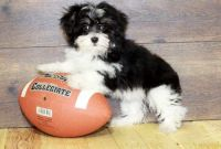 Havanese Puppies for sale in Baltimore, MD, USA. price: NA