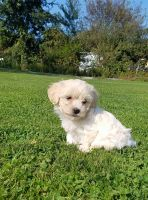 Havanese Puppies for sale in Lisbon, OH 44432, USA. price: NA