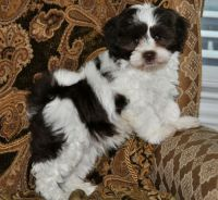 Havanese Puppies for sale in Adamstown, PA, USA. price: NA