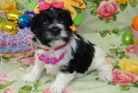 Havanese Puppies for sale in Bristow, VA, USA. price: NA