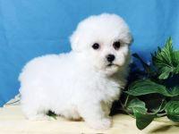 Havanese Puppies for sale in Dakota City, IA, USA. price: NA