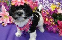 Havanese Puppies for sale in Headrick, OK 73549, USA. price: NA