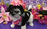 Havanese Puppies for sale in Manilla, IN 46150, USA. price: NA