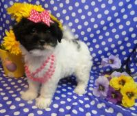 Havanese Puppies for sale in Mooreville, MS 38857, USA. price: NA