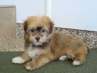 Havanese Puppies for sale in Langley Way, Washington, DC 20032, USA. price: NA