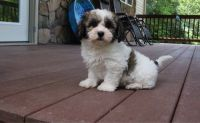 Havanese Puppies for sale in Grace City, ND 58445, USA. price: NA