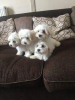 Havanese Puppies for sale in Orange Park Northway, Orange Park, FL 32073, USA. price: NA