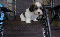 Havanese Puppies for sale in El Dorado, AR 71730, USA. price: NA