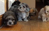 Havanese Puppies for sale in Owings Mills, MD, USA. price: NA