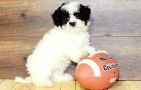 Havanese Puppies for sale in Daytona Beach, FL, USA. price: NA