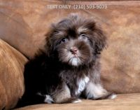 Havanese Puppies for sale in Kansas City, MO, USA. price: NA