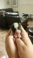 Havanese Puppies for sale in Sacramento, CA 95822, USA. price: NA