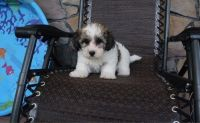 Havanese Puppies for sale in Culver City, CA, USA. price: NA