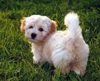 Havanese Puppies for sale in Houston, TX, USA. price: NA