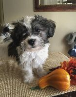 Havanese Puppies for sale in Los Angeles, CA 90001, USA. price: NA