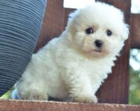 Havanese Puppies for sale in San Francisco, CA, USA. price: NA