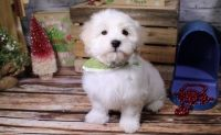 Havanese Puppies for sale in Dallas, TX, USA. price: NA