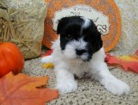 Havanese Puppies for sale in Miami, FL 33101, USA. price: NA