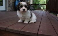 Havanese Puppies for sale in Irving, TX, USA. price: NA