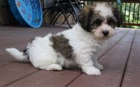Havanese Puppies for sale in Ann Arbor, MI, USA. price: NA