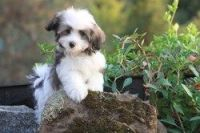 Havanese Puppies for sale in Charleston, WV, USA. price: NA