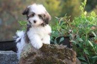 Havanese Puppies for sale in Birmingham, AL, USA. price: NA