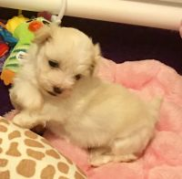 Havanese Puppies for sale in 15201 San Pedro Ave, San Antonio, TX 78232, USA. price: NA