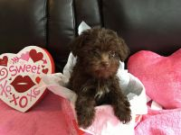 Havanese Puppies for sale in Marcellus, MI 49067, USA. price: NA