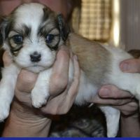 Havanese Puppies for sale in Jackson, MS, USA. price: NA
