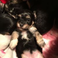 Havanese Puppies for sale in Washington, DC, USA. price: NA