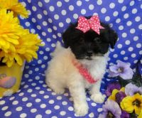 Havanese Puppies for sale in Kensington, MD 20895, USA. price: NA