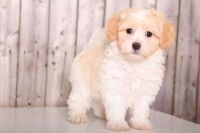 Havanese Puppies for sale in Maryland Heights, MO, USA. price: NA