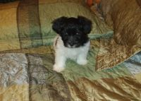 Havanese Puppies for sale in Kinston, NC, USA. price: NA