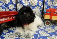 Havanese Puppies for sale in Hulbert, OK 74441, USA. price: NA