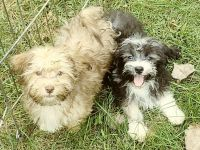 Havanese Puppies for sale in Spencer, NE 68777, USA. price: NA