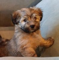 Havanese Puppies for sale in Bellingham, WA, USA. price: NA