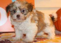 Havanese Puppies for sale in Richmond, VA, USA. price: NA