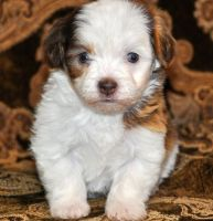 Havanese Puppies for sale in Long Beach, CA, USA. price: NA