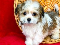 Havanese Puppies for sale in Tucson, AZ, USA. price: NA