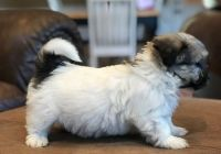 Havanese Puppies for sale in Garden City, ID, USA. price: NA