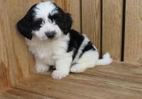 Havanese Puppies for sale in Norwich, CT, USA. price: NA