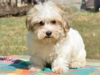 Havanese Puppies for sale in California St, San Francisco, CA, USA. price: NA