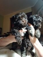 Havanese Puppies for sale in Merrill, WI 54452, USA. price: NA