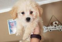 Havanese Puppies for sale in Phoenix, AZ 85019, USA. price: NA