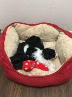 Havanese Puppies for sale in Irvine, CA, USA. price: NA