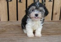 Havanese Puppies for sale in Madison, WI 53707, USA. price: NA